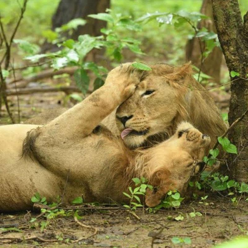 Animal Planet's unveils new series 'The Lion Kingdom