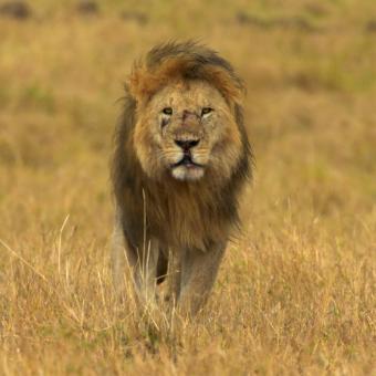 https://www.indiantelevision.com/sites/default/files/styles/340x340/public/images/tv-images/2020/03/09/lion_0.jpg?itok=OI4L_F1b
