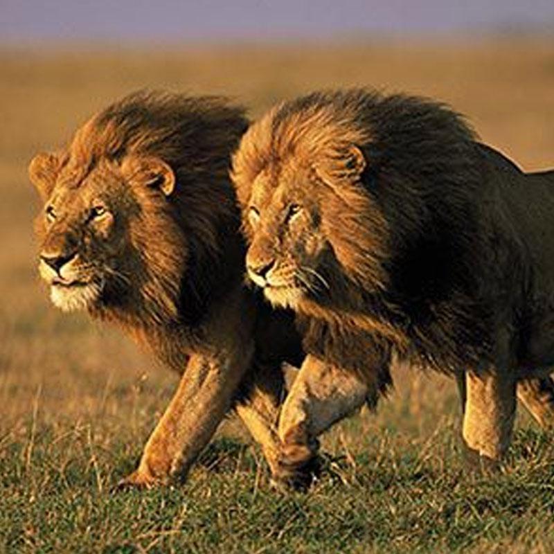 http://www.indiantelevision.com/sites/default/files/styles/smartcrop_800x800/public/images/tv-images/2017/11/23/lion_0.jpg?itok=-eFuvDAA
