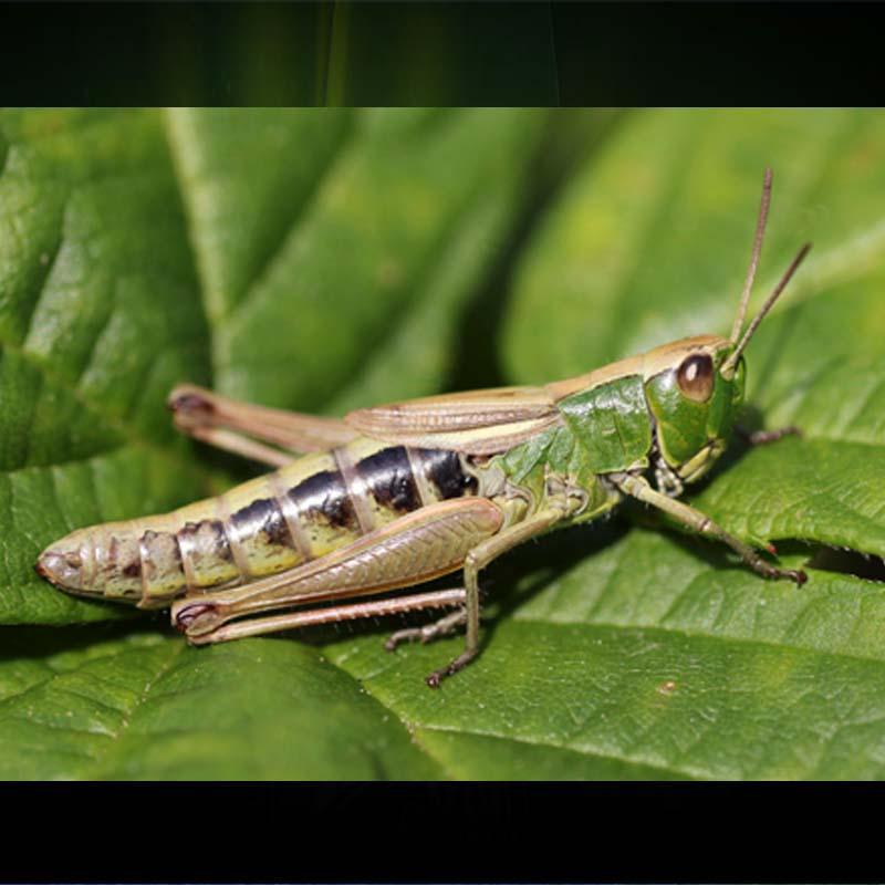 http://www.indiantelevision.com/sites/default/files/styles/smartcrop_800x800/public/images/tv-images/2017/12/28/Grasshoppers.jpg?itok=w4dIEJ9E