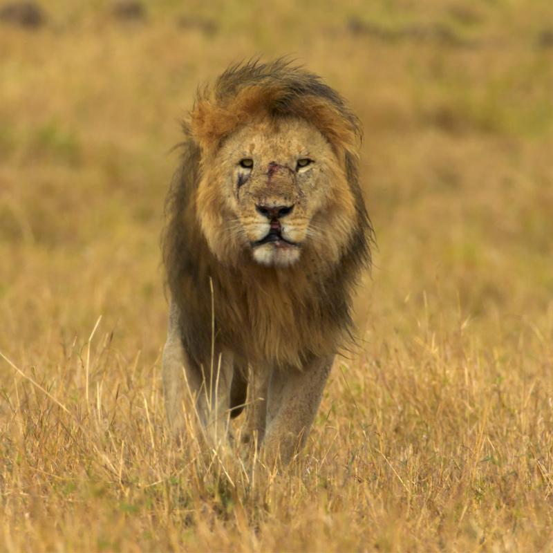 https://www.indiantelevision.com/sites/default/files/styles/smartcrop_800x800/public/images/tv-images/2020/03/09/lion_0.jpg?itok=e7hY55qL